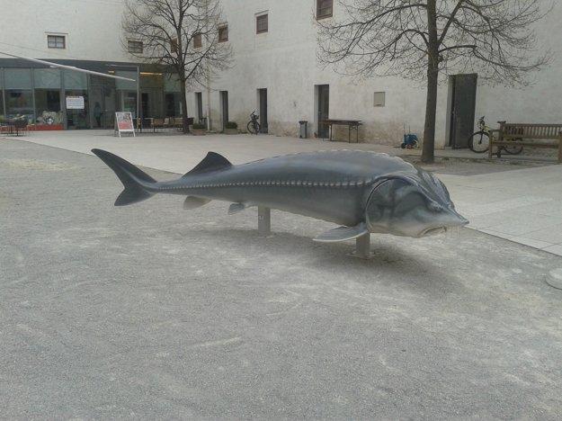 Plastika vyzy, najväčšej dunajskej ryby. Kedysi žila aj v riečnych ramenách medzi Bratislavou a Viedňou.