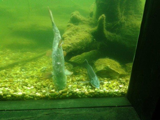 Cez sklo vidno pohyb rôznych druhov rýb.