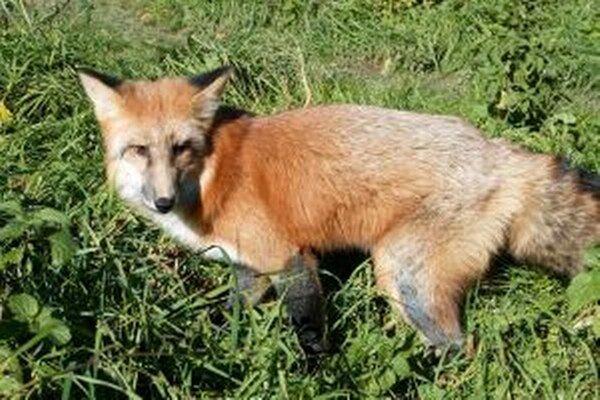 Túlavá líška to už má zrátané.
