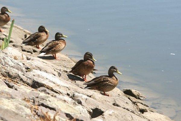 Podľa ochranára Jozefa Ridzoňa zimuje v Dunajských luhoch 10 až 20-tisíc rôznych druhov vodného vtáctva.