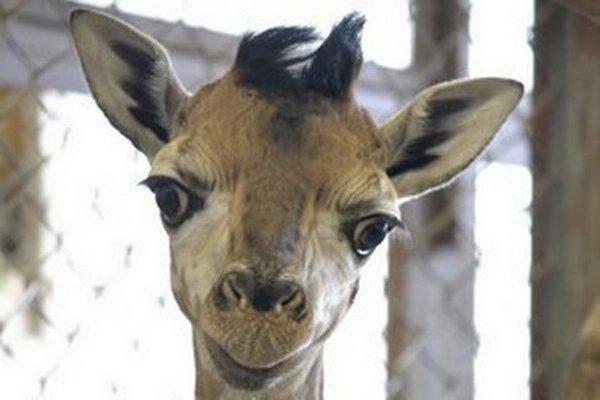 Malý žirafiak zatiaľ nemá meno, bude Melman, Jasper, Tim, Teodor alebo Tristan.