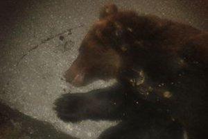 Zrazený medveď. Na diaľnicu sa zrejme zatúlal po tom ako do neho niekto strelil.