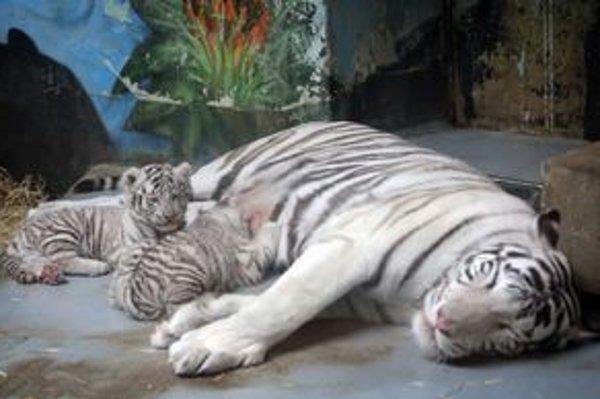 Mláďatá ukážu až v piatok, toto sú ich starší súrodenci. Samička obvykle porodí za 102 až 112 dní.