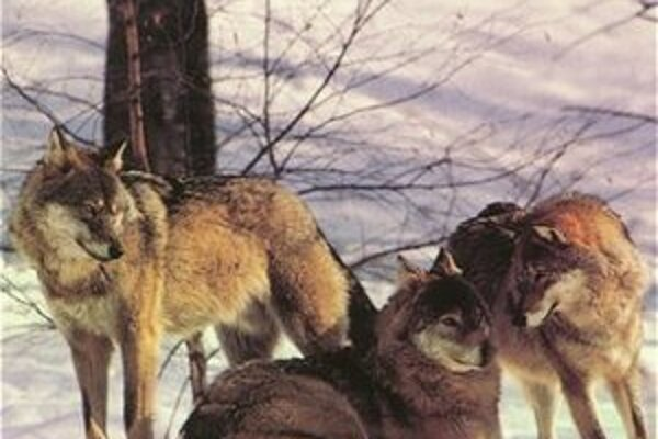 Vlci potrebujú nový výbeh, zoologická záhrada robí zbierku a pomáha si predajom kalendára.