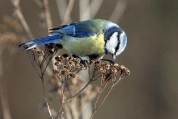 Vtákov treba v zimnom období prikrmovať, zvyšky z vianočného stola im však môžu ublížiť.