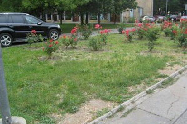 Ruže na Martinčekovej.