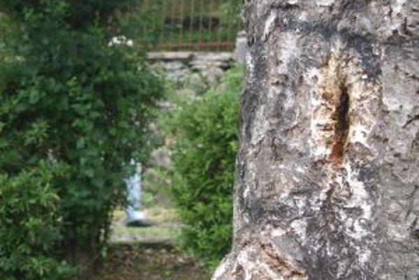 Roj v centre mesta. Včelár ho musel z diery v breze odstrániť.