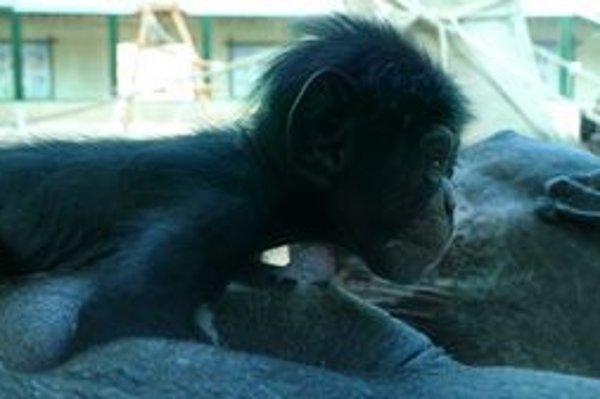 Narodený šimpanz.