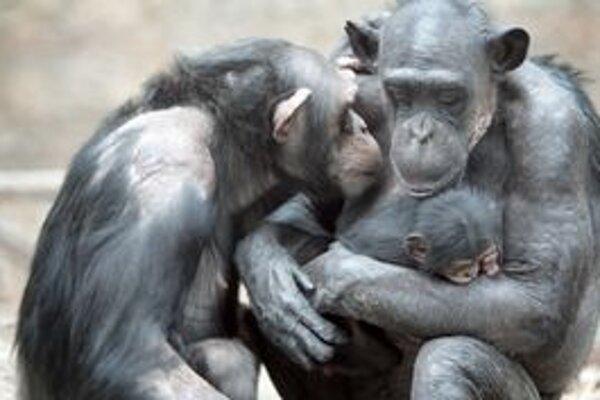 Šimpanzici Uschi (vpravo) sa na jar narodilo mláďa. So zvládaním mediálneho záujmu jej pomáha kamarátka Majoránka (vľavo).