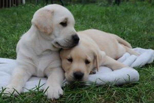 Tieto šteniatka budú pomáhať nevidiacim.