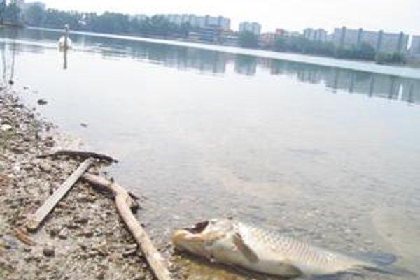 Mŕtve ryby v Draždiaku už obžierajú vtáky. Rybári ich chodia zbierať.