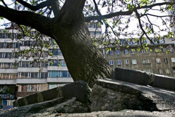 Strom na Kamennom námestí, ktorý koreňmi rozlámal asfalt, má asi 150 rokov. Podľa odboríčky je neodborne ošetrený.