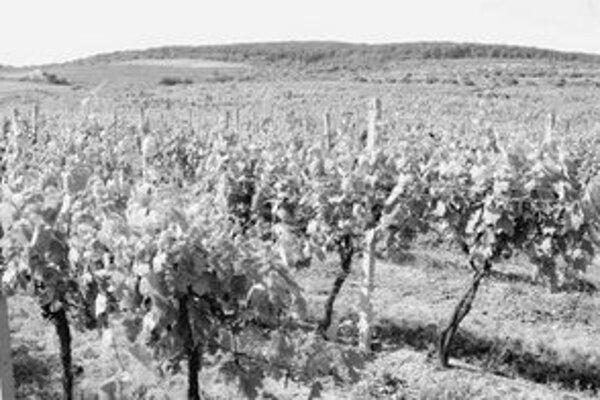 Ročník 2006 je podľa vinárov jeden z najlepších za posledné obdobie a bude bohatý na prívlastkové vína. Chýbať mu však budú pre teplé počasie ľadové vína.