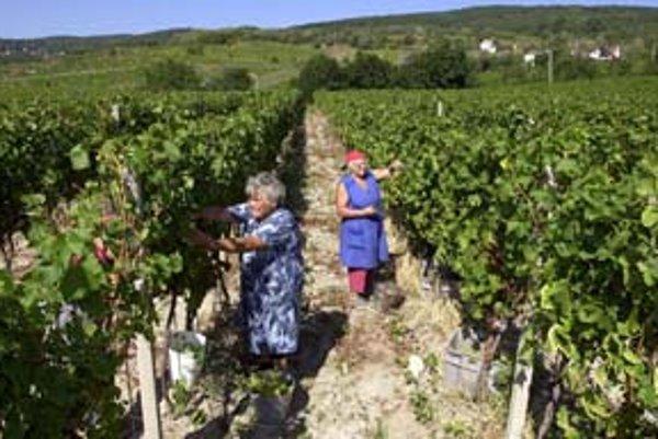 Zber niektorých odrôd viniča sa už začal, pestovateľov potešil príchod daždivého počasia.