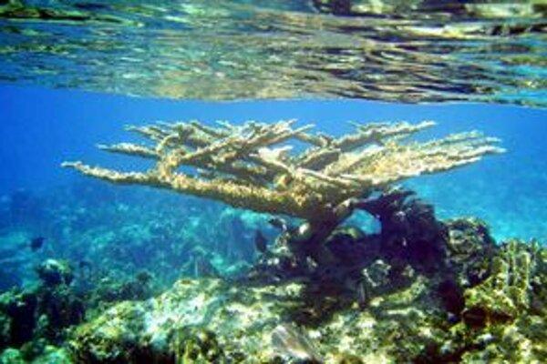 Niektoré z útvarov koralov Acropora palmata sú staré až 125.000 rokov.