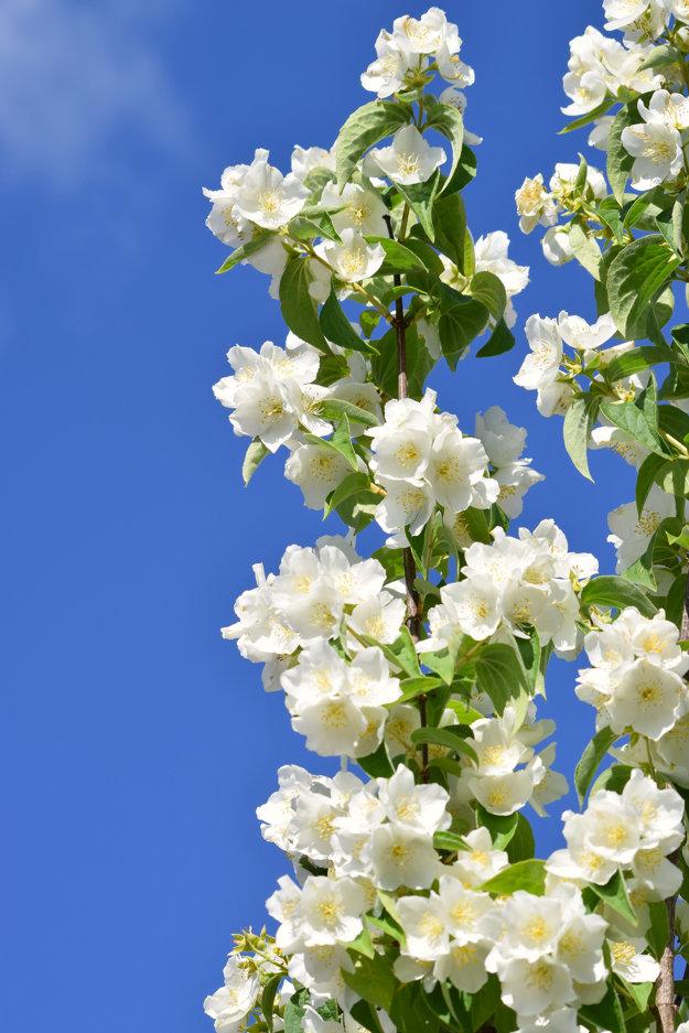 Kvety jazmínu sa líšia podľa druhu.