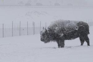 Bizón nemá problém ani s najväčšími mrazmi, ktoré v Spojených štátoch zažíva.