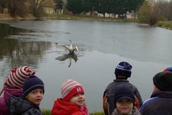 Voda na obecnom jazierku začína zamŕzať. labuť k prežitiu potrebuje tečúcu vodu.