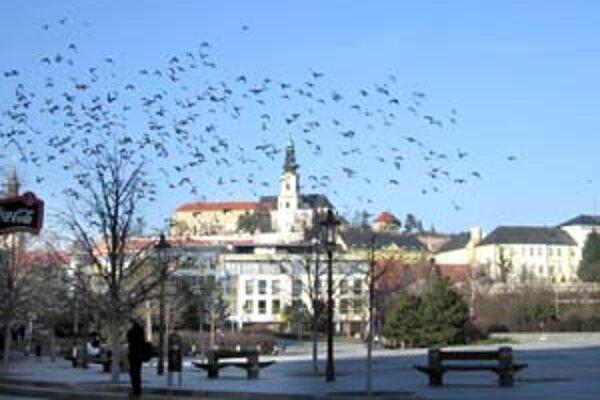 Pred dvoma rokmi vyhubili v Nitre asi tisíc holubov, dnes sú opäť premnožené.