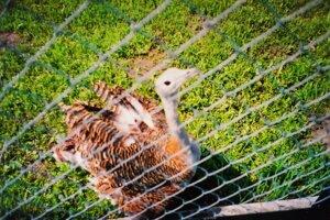 Dropia samica krátko pred svojím skonom na chovnej stanici Dropie.