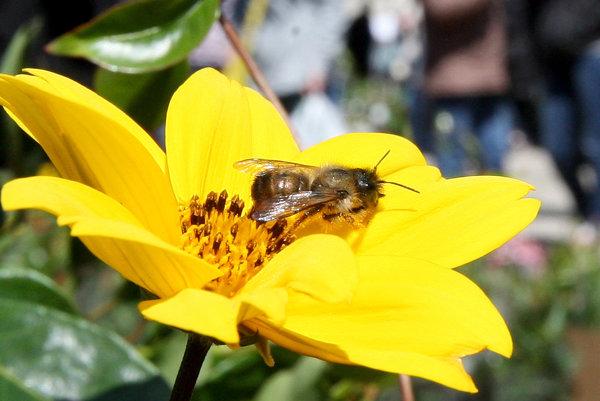 Včely lietajú zväčša samostatne, občas však aj v roji.