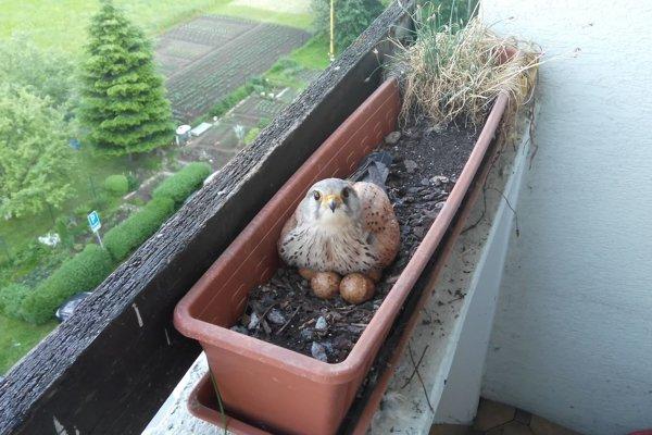 Sedenie na vajíčkach.