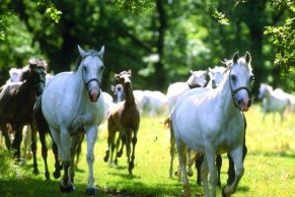 Lipicanský kôň je jedno z najstarších kultúrnych plemien koní v Európe. Vyšľachtený bol v dvornom žrebčíne Lipica v Slovinsku. WIKIPEDIA