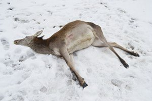 Pytliactvo. Takto našli gravidnú jelenicu.