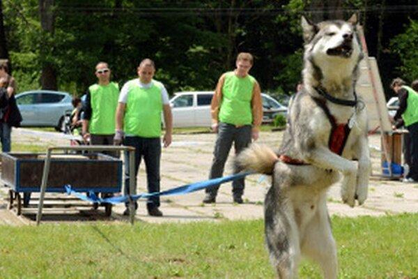 V Handlovej budú 12. 7. psy ťahať ťažké bremená.