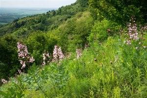 Devínska Kobyla je obľúbenou turistickou lokalitou v Bratislave, no pestro zakvitnuté lúky sa postupne menili na húštinu.