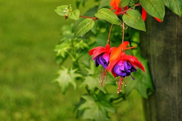 Projekt nového operačného systému Google pomenovali podľa rastliny Fuksia (Fuchsia).