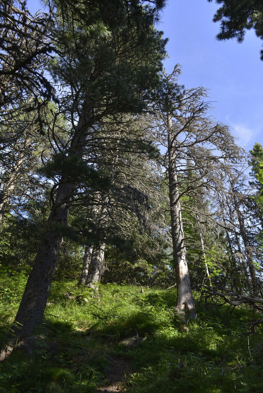 Vyschnuté približne 200-ročné borovice limbové v Bielovodskej doline.