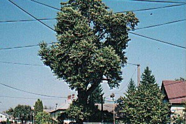 Dub letný rastie v Radvani nad Laborom.
