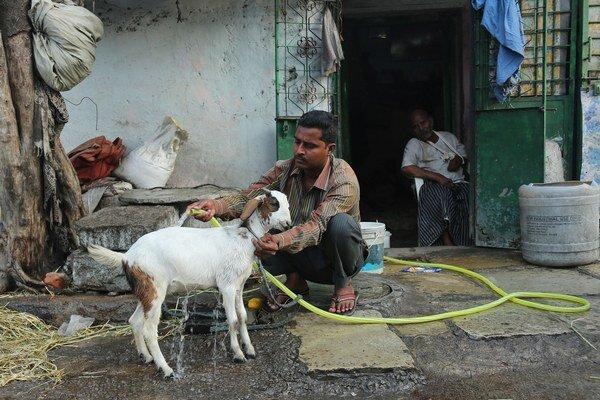 Muž sa snaží ochladiť kozu počas horúčav.