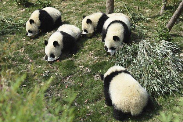 Päť pandích mláďat je špeciálnu mliečnu kašu.