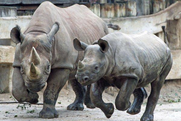 Niektorí ľudia v krajine považujú nosorožie rohy za liek, afrodiziakum i symbol spoločenského postavenia.