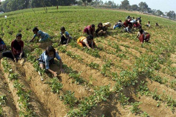 Farmy zamestnávajú už 11-ročné deti, platia im nízke mzdy a vystavujú ich nebezpečným pracovným podmienkam.