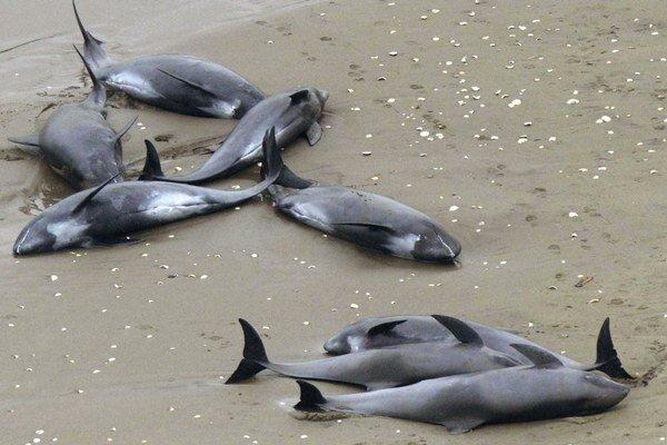 Uviaznuté delfíny na pláži v meste Hokota, severne od Tokia.