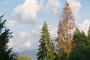 Z jedného napadnutého stromu vyletí lykožrút na osem až desať ďalších.