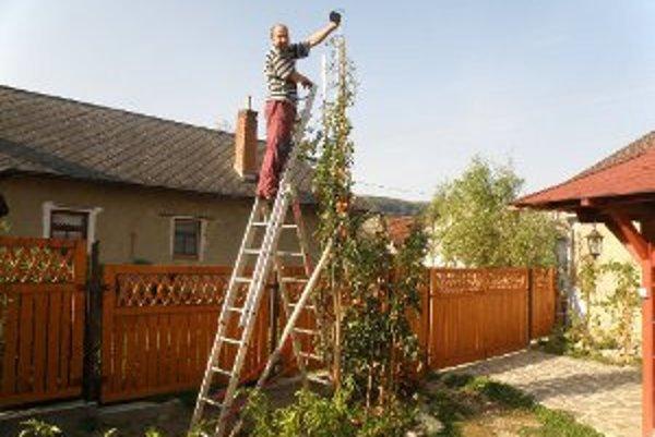 Ondrej Šimo sa o vysokú rajčinu musí starať z rebríka. .