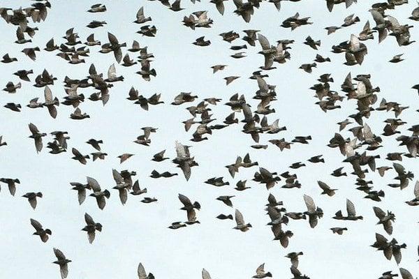Cestovanie v kŕdľoch má vtáky ochrániť pred dravcami.