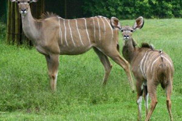 Kudu patrí k najznámejším antilopám.