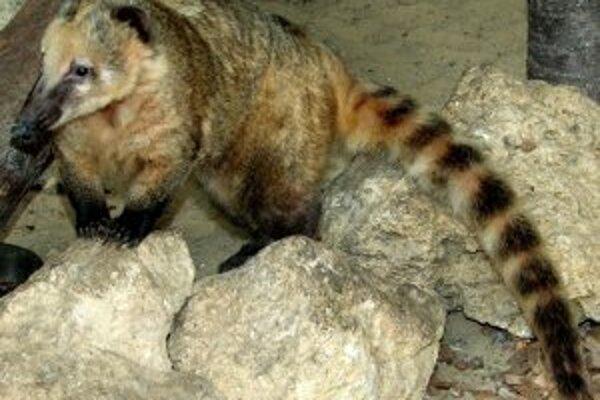 Nosáľ červený žije v bojnickej zoo od roku 2010.