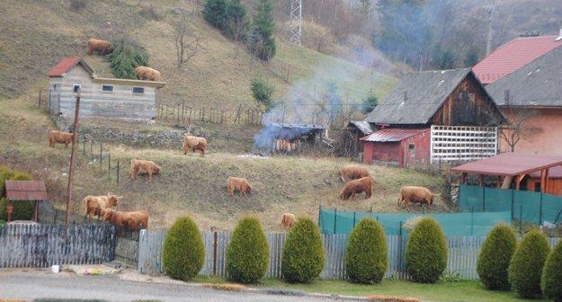 Škótske kravy. Pasú sa priamo vobci.
