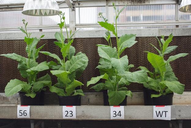 Upravené rastliny (prvé tri zľava) sú viditeľne väčšie ako divoký druh tabaku vpravo.