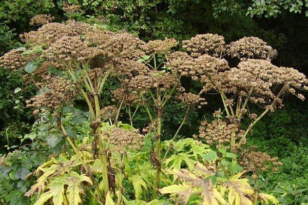 Boľševník obrovský je jedna z invazívnych rastlín.