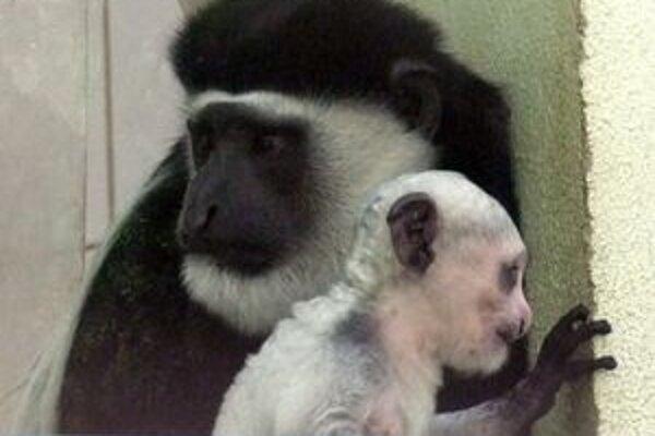 V bojnickej zoo sa od roku 2003 narodilo šesť mláďat guerézy.