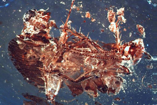 Telo švába v 130 miliónov rokov starom jantári.
