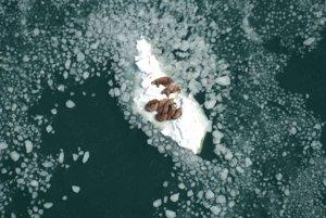 Mrože oddychujú na morskom ľadovci.