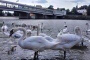 Labute pod Kolonádovým mostom  v Piešťanoch.